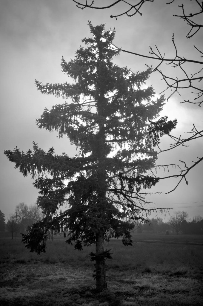 Pine in the Mist