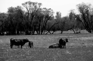 Cattle Lowing