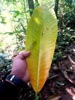 Leafy Pico De Loro