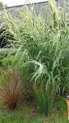 tall grasses sensory garden