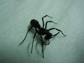 Big black ant