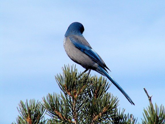 Blue Jay?