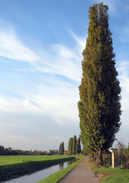 Do You Have Enough Room To Plant a Poplar Tree?