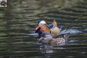 Pair of Mandarin Ducks on the pond