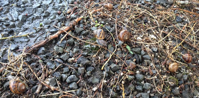 An escargatoire of snails