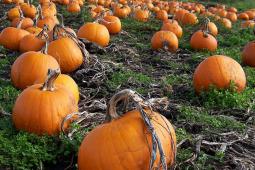 pumpkin-patches