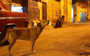perros-marruecos