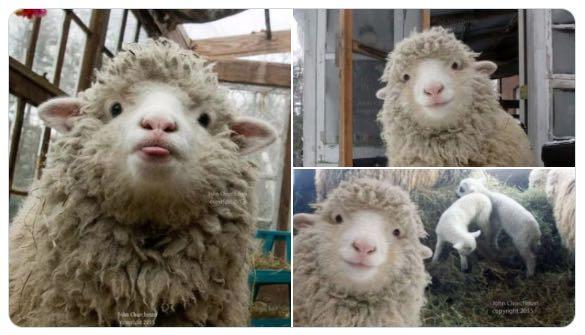 la oveja de Twitter