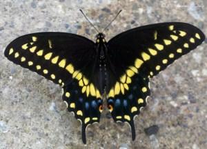 The Black Swallow Tail (Papilio polyxenes)