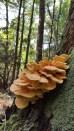 Laetiporus huroniensis