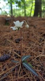 Chimaphila maculata, spotted wintergreen