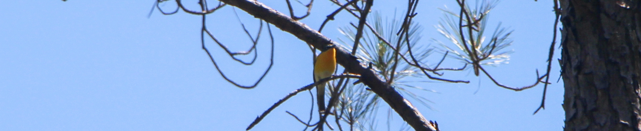 The Yellow-Breasted Chat of Lannahassee Creek
