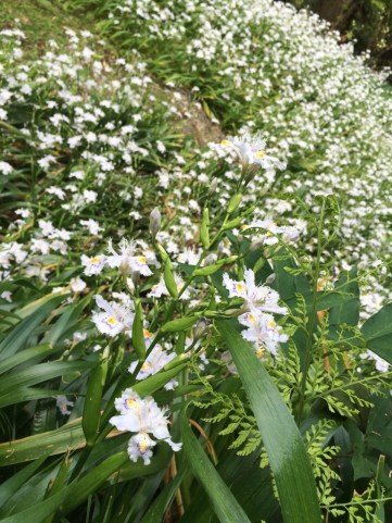 Viewed from far away the shaga flowers create the illusion of a white carpet