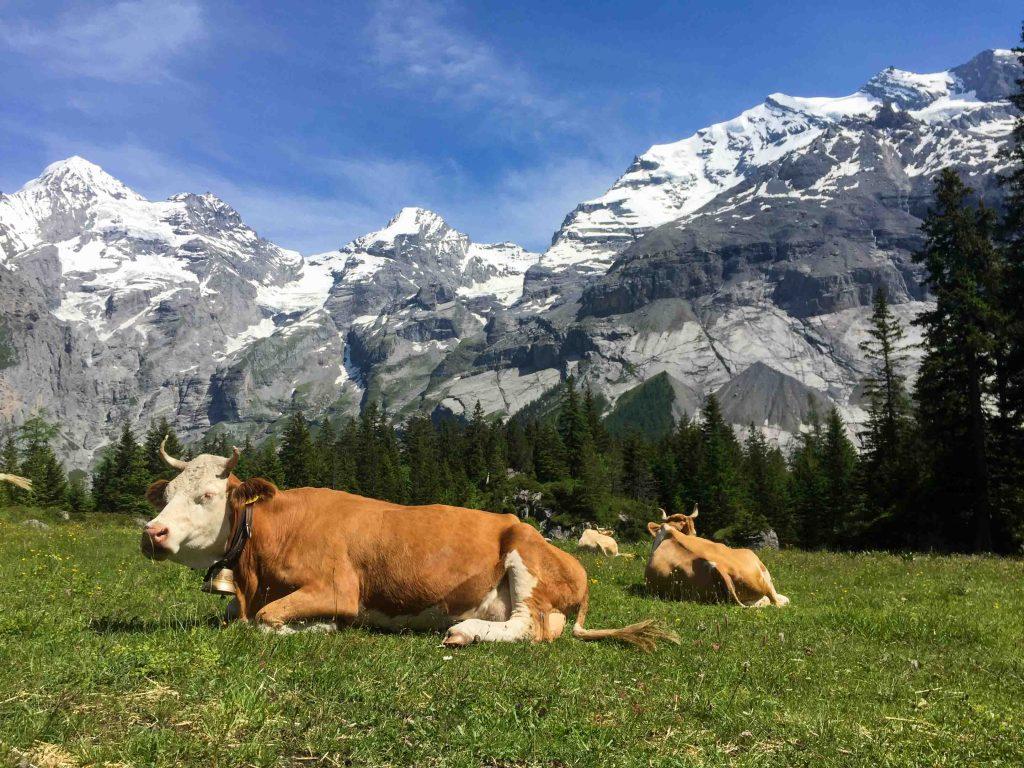 Alps Swiss-cows Swiss