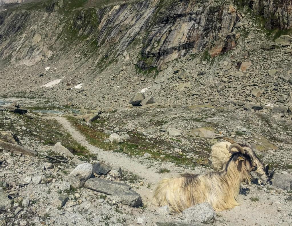 cabras alpes