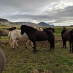 Icelandic horses and Snæfellsnes