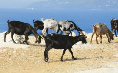 Etymology Excavation: Judas goat