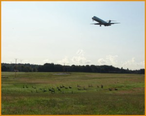 plane taking off with geese on ground