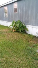and more proof that God takes care of his plants...i planted these elephant ears upside down several years ago