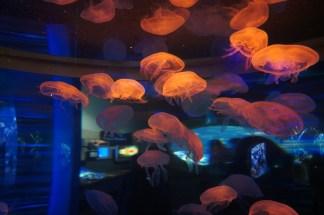 jellyfish dream