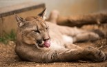 Puma - Mountain Lion - Cat Survival Trust