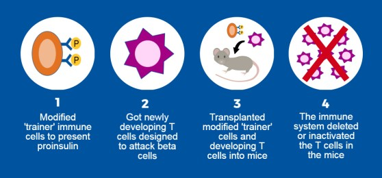Diagram of cell modification and transplantation in mice