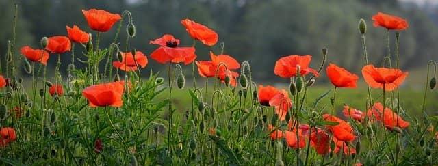 coquelicots : fleurs comestibles