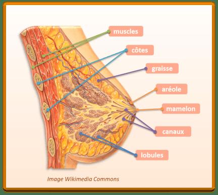 Cancer du sein : tout ce qu'il faut savoir. Coupe anatomique du sein.
