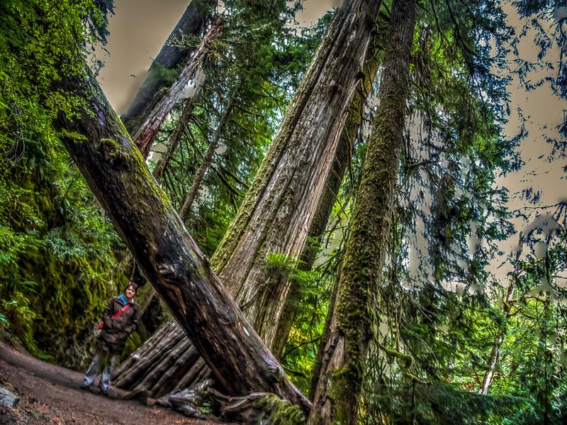 Large trees in Mount Rainier