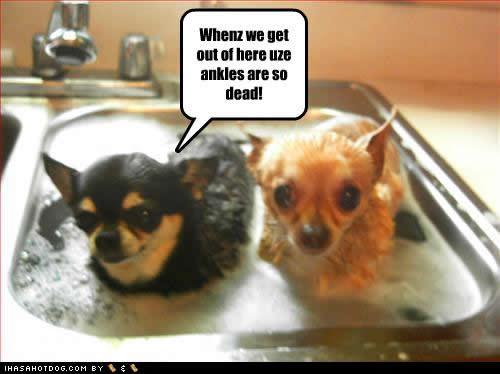 Wet Chihuahuas