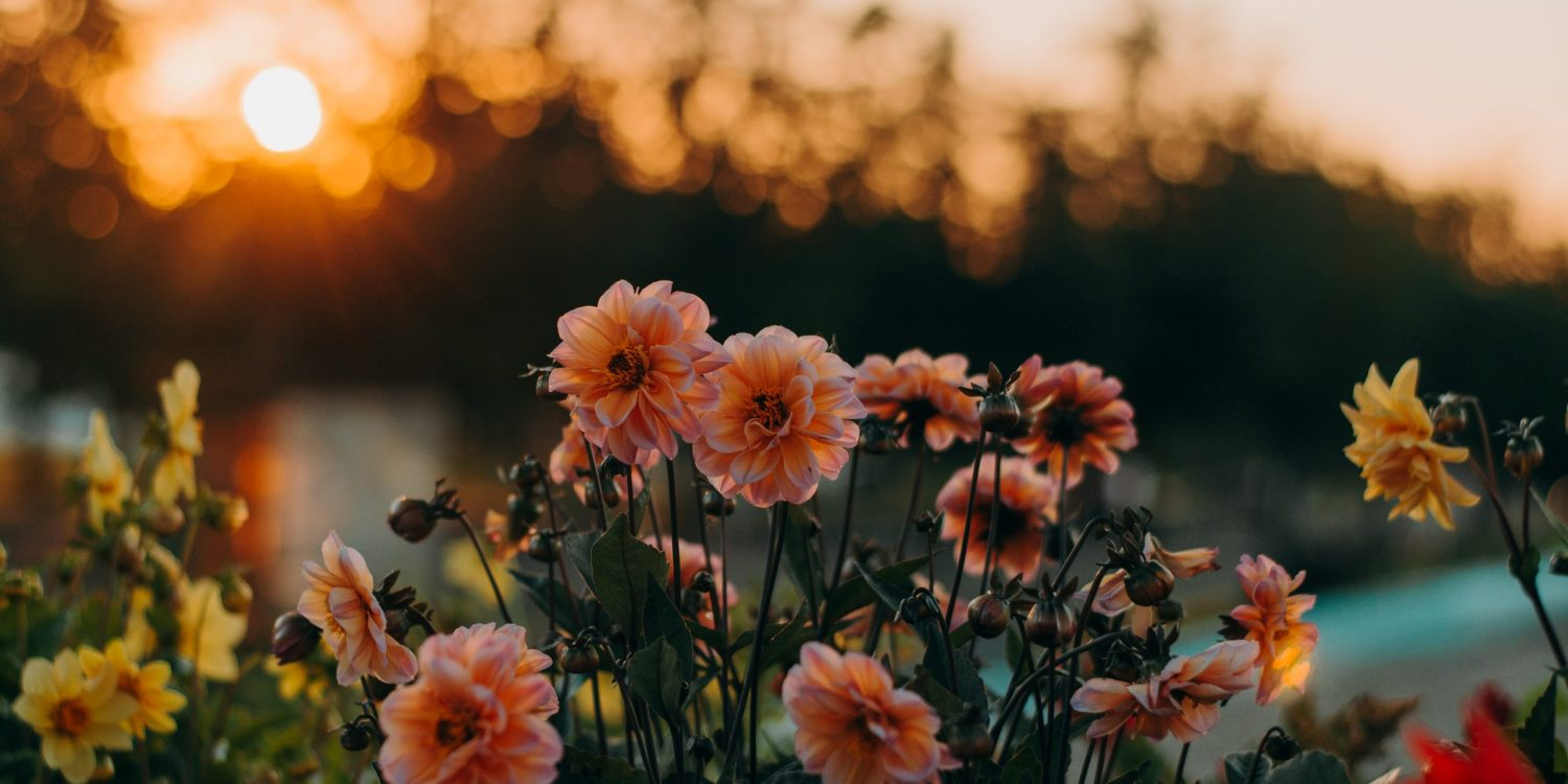 Light pink (peach) daisies with trees in the background.