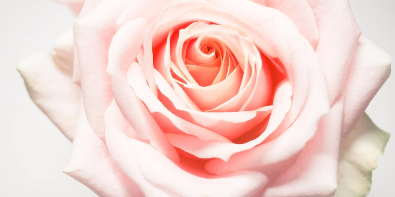 Zoomed in on a pink rose.