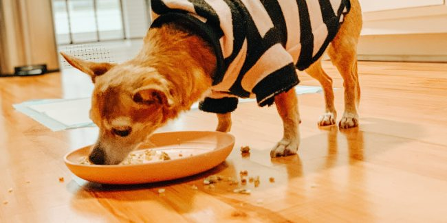 A tan chihuahua in a striped sweater eating off a pink plate.