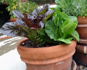Several healthy lettuce heads grow in a clay pot
