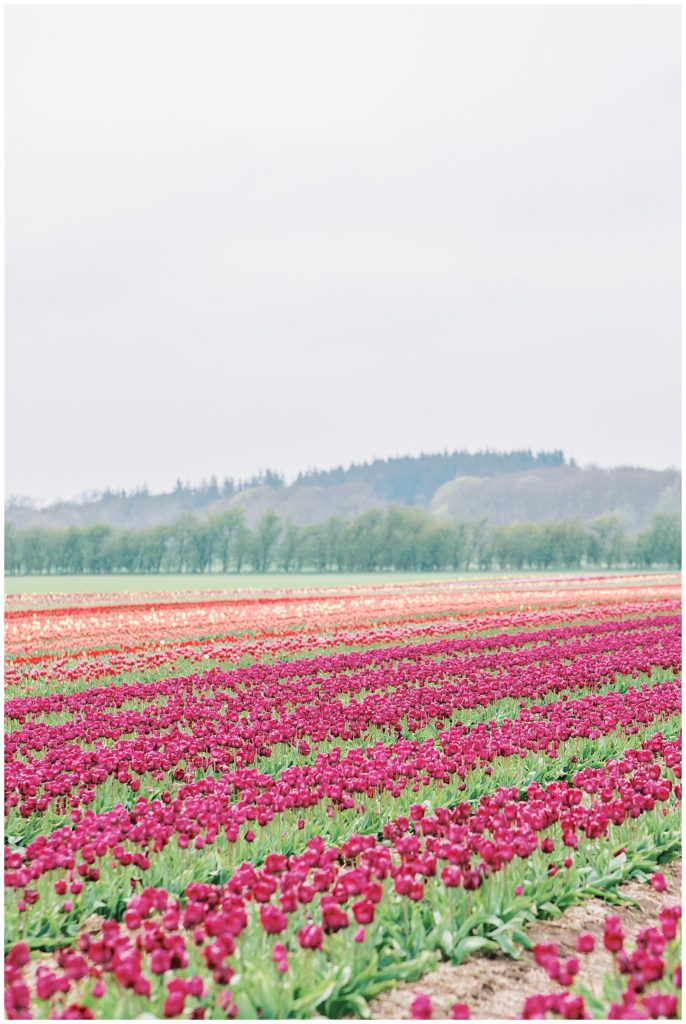 pictures in the danish tulip fields in Europe taken by danish wedding photographer jeanette merstrand