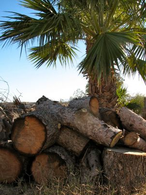 Firewood near palm tree
