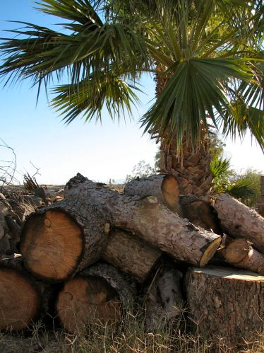 Firewood near palm tree