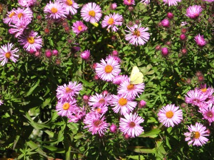 Fall asters, draw in plenty of butterflies