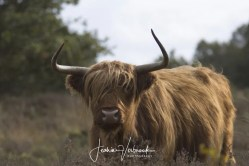 Scottish Highlander Hoge Veluwe 2017