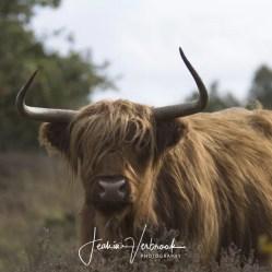 Scottish Highlander Hoge Veluwe 2017