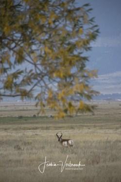 Pronghorn Montana