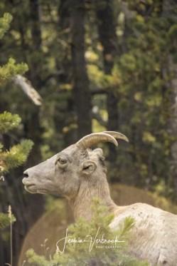Mountain goat Mount Washburn
