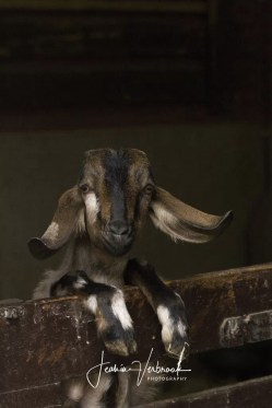 Funky goat