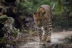 Amur panther (leopard)