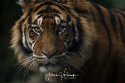 Tiger portrait