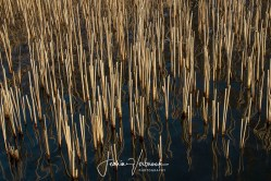 Reed & reflection