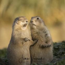Prairie dogs Blijdorp 2017