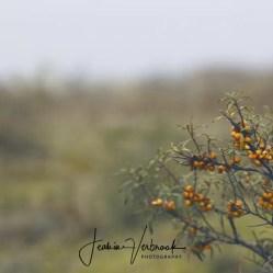 Sea buckthorn Berkheide 2017