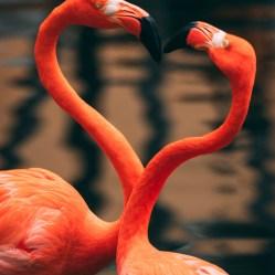 Nature_Flamingo love