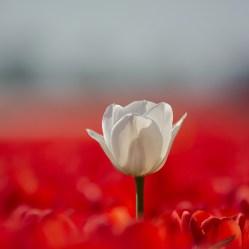Outstandig tulip